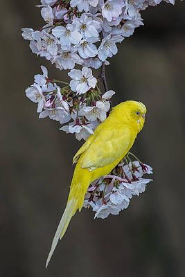 Yellow Canary On The Cherry Blossom Tree Branch By Mirko Kuzmanovic Blossom Trees Cherry Blossom Tree Cherry Blossom