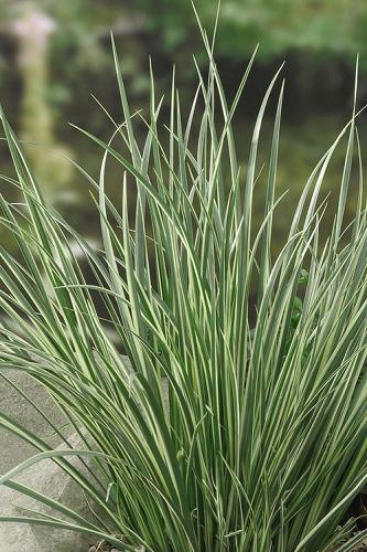 Variegated Sweet Flag Acorus Calamus Variegatus Pond Plants Ornamental Grasses Plants