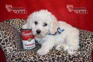 Bichon Frise Puppy For Sale In Sanger Tx Adn 52385 On Puppyfinder Com Gender Male Age 8 Weeks Old With Images Bichon Frise Puppy