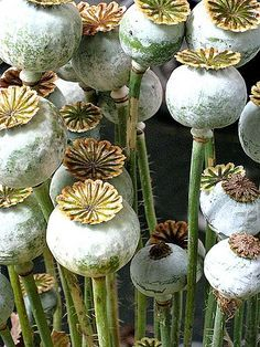Poppy seed heads, allow them to dry out and use them in winter arangements. petitcabinetdecuriosites:(via garden / poppies)