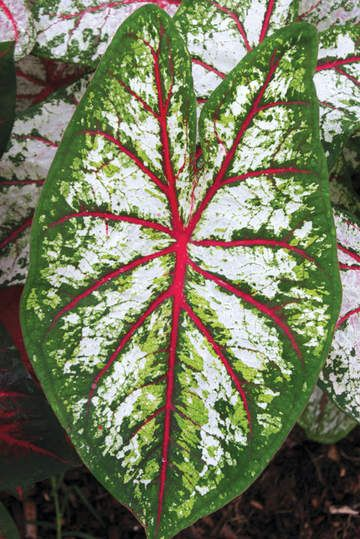 Brent And Becky S Bulbs Caladium Shade Plants Plant Leaves
