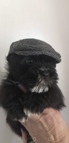 Shnau Tzu Puppies Puppies Cute Puppies Shih Tzu