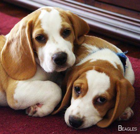 Beagles Forever Beagleclub Beagles Colors Beagle Puppy Cute