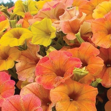 Petunia Cascadia Indian Summer Zoom Petunias Plants Raised Beds Succulents Planters Growing Vegetables Container Plants In 2020 Annual Flowers Petunia Plant Petunias
