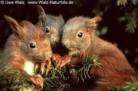 [Jounin] Senju Dai 7b3aa6038df40b5149835e904f25cfe3--fox-squirrel-html