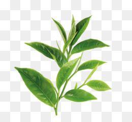 Green Tea White Tea Theanine Oil Green Tea Plant Leaves Eucalyptus Leaves Eucalyptus Tree