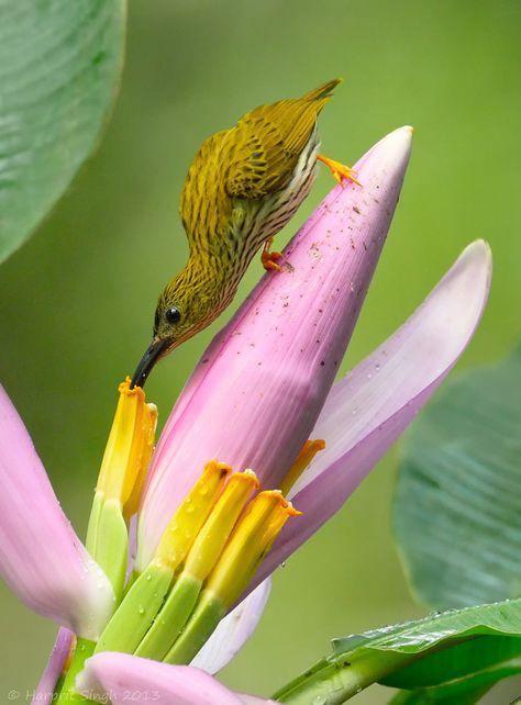 """""""Spiderhunter Flower Visit"""" by Harprit Singh .. stunning bird photo .. pink, yellow"""