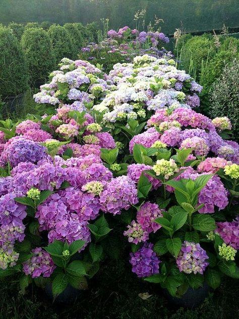 I Love Hydrangeas 3 With Images Ogrody Rosliny Ogrod