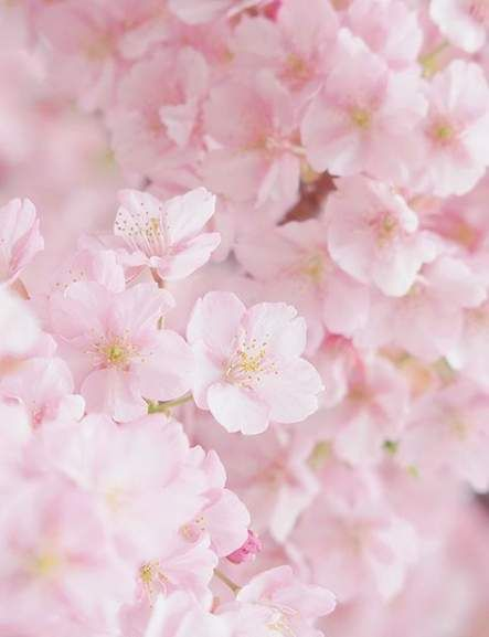 Cherry Blossom Tree Facts That You Definitely Never Knew Before Cherry Blossom Tree Blossom Trees Pink Flower Names