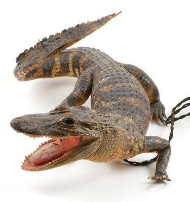 1930s Taxidermy Alligator Table Lamp Mar 14 2020 Blackwell Auctions In Fl Taxidermy Alligator Vintage Florida