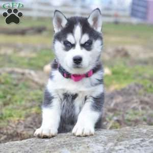 Pin By Greenfield Puppies On Siberian Husky Husky Best Dogs Dogs