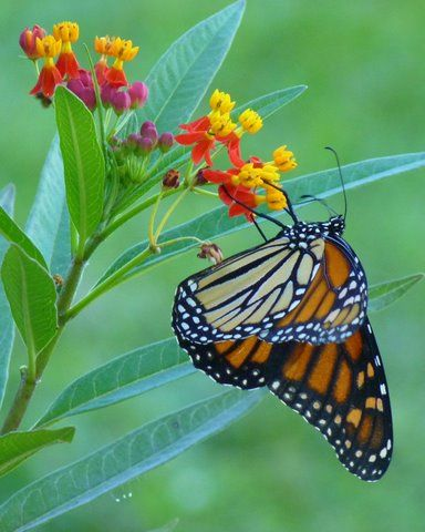 Milkweed (Asclepias spp.): This is well-known as a host plant for Monarchs, but the flowers provide valuable nectar too.