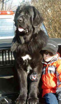 newfoundlands | dogs newfoundlands newfoundlands dogs rocky back 30 of 59 next