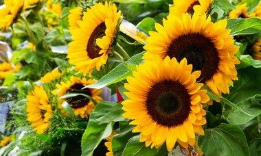 Helianthus Annuus Taiyo Common Sunflower Taiyo Comb Flower Taiyo Golden Flower Of Peru Taiyo St Bartholomew S T Perfect Plants Annual Plants Annual Flowers