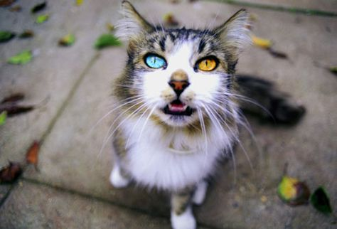 Eye Color Heterochromia Mutation Eye Spy Pinterest Cat - This is pam pam the kitten with heterochromia with hypnotic eyes you just cant stop looking at