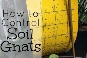 How To Get Rid Of Fungus Gnats In Houseplants Soil Soil Gnats Are Super Annoying And Can Plague Indoor Gardeners But They Aren T Usually Destructive And Are O House Plants Houseplants