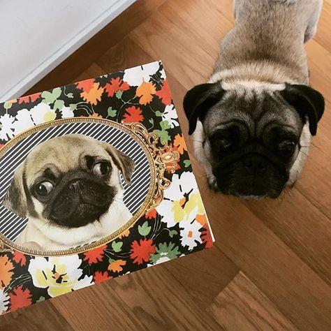 dogsofinstagram Duh #pugworm #puglife...