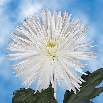 White Fuji Spider Mums Spider Mums Mums For Sale White Chrysanthemum
