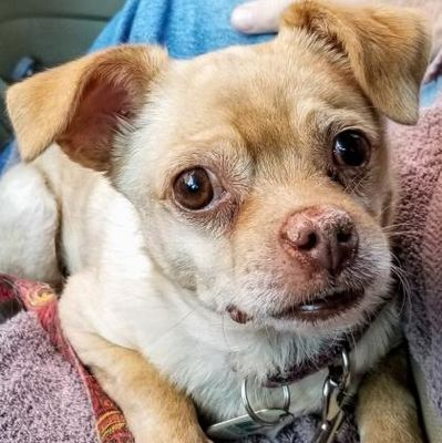 Colorado Springs Co Chihuahua Meet Timmy A Pet For Adoption In 2020 Pet Adoption Chihuahua Pets