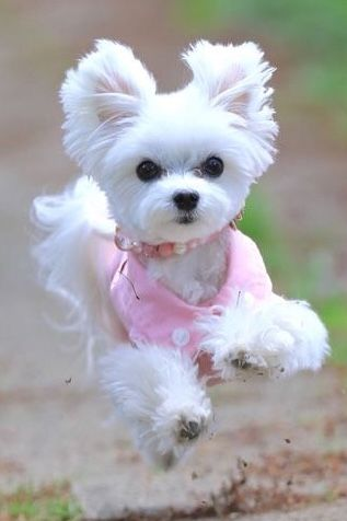 Maltese With Images Cute Cats And Dogs Cute Dogs Cute Small