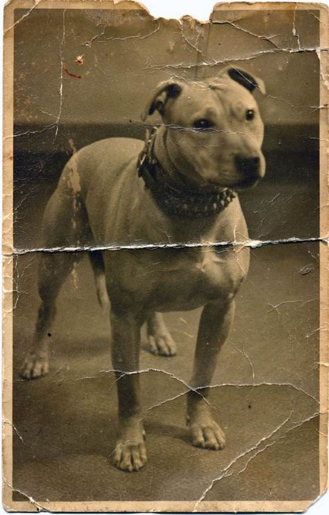 Vintage 1920/'s Photo reprint of a White Pitbull DOG inside a Little Dog House