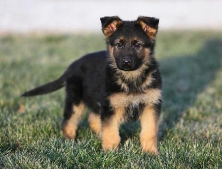 como entrenar a mi perro pastor aleman
