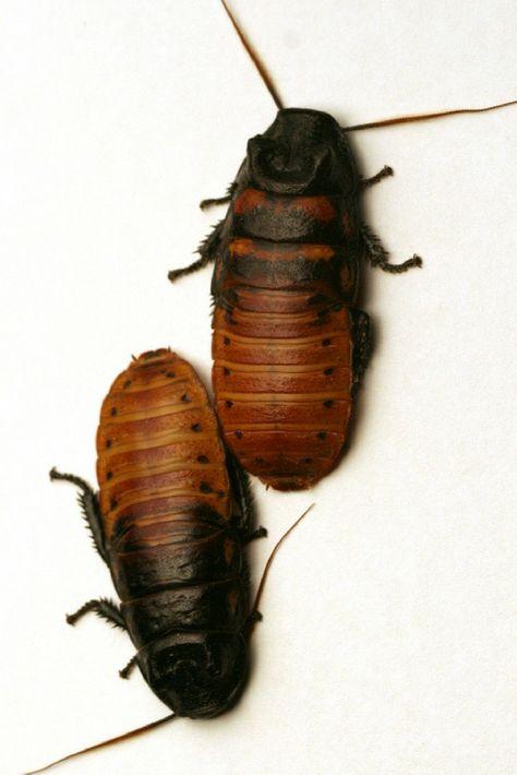 42 best Cockroaches images on Pinterest   Pest control  Roaches and  Allergies. 42 best Cockroaches images on Pinterest   Pest control  Roaches