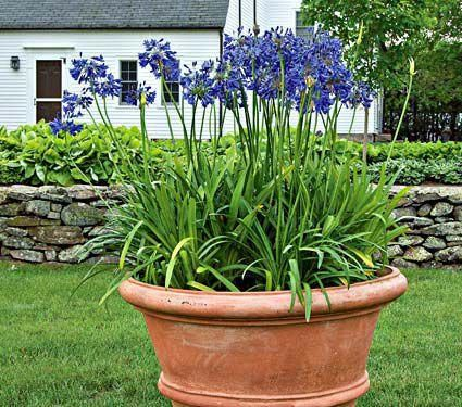 Agapanthus Midknight Blue Jardineria Generally Not Hardy In Philly White Flower Farm Agapanthus In Pots Plants