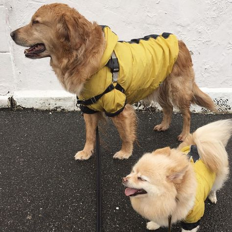 ...    Covered our eyes from an intense rain and wind this morning         #furrytroops #dogsofinstagram #dogsofinsta #buzzfeedanimals #dailyfluff #cutepetclub #animalsco #animalsinstreet #dogs #melbournedogs #doglife #pupstagram #dog_features #petoftheday #doggo #rarepups #pomeranian #dogmelbourne #pupfluencer #poms #pomeranianlife #goldenretriever #golden #melbournewoof #pomeranianworld #dogsofinsta #dlssmile #saturday