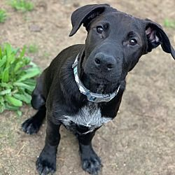 Austin Texas Labrador Retriever Meet Puppy Zero A For Adoption Https Www Adoptapet Com Pet 24574491 Austin Texas Labrador Re Labrador Retriever Labrador