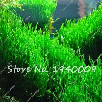 Wlcome to my store Click here,here,Best Selling Seed !!! Boss Recommend Don\\'t Miss it!!! Store Best Selling Seed Click Here ... ... Most Rare Color Flower Seeds Click Here ... ... 2017 New Arrival Seeds Click Here ... ... Cheapest Seeds (< $ 0.08) Click Here ... ... Aquatic Plant Seeds I guess you like Click...... I recommend to you the rare seeds,they will make your garden more beautiful High quality Lowest price Click picture to Buy !!! FlowerSeeds Fruit Seeds Vegetable Seeds Bonsai &