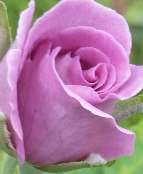 pinky rostock