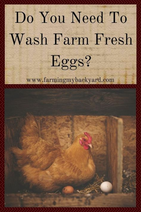 One of the most popular questions new chicken keepers ask is should I wash my eggs? Commercial eggs are required to be pre-washed however farm fresh eggs are a different story. You don't actually NEED to wash your eggs although there are some circumstances where you may want to. #ChickenHouses