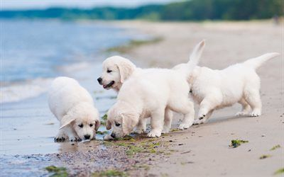 Download Wallpapers Retrievers Puppies Labradors Coast Dogs Pets Small Labradors Cute Dogs Besthqwallpapers Com Labrador Retriever Dog Labrador Retriever Retriever Dog