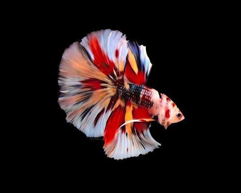 500 Ide Candy Nemo Emerald Ikan Cupang Ikan Ikan Eksotis