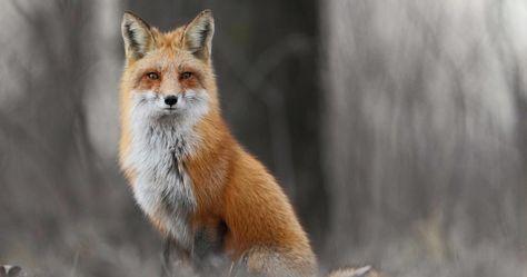 Winter Fox In Forest 4k Ultra Hd Wallpaper Animals
