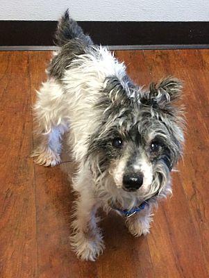Oak Ridge Nj Senior Schnauzer Miniature Meet Bebe A Pet For Adoption Pet Adoption Pets Adoption