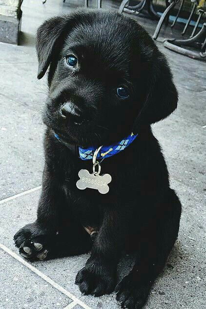 Mind Blowing Facts About Labrador Retrievers And Ideas. Amazing Facts About Labrador Retrievers And Ideas. Black Lab Puppies, Cute Dogs And Puppies, I Love Dogs, Doggies, Adorable Puppies, Black Puppy, Cute Animals Puppies, Types Of Puppies, Black Labs Dogs