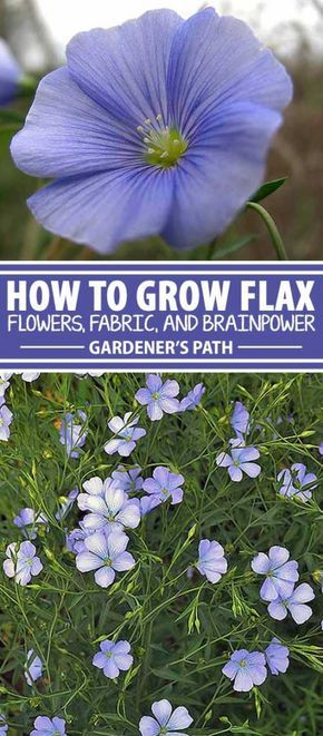 How To Grow Flax For Flowers Seeds And Oil Gardener S Path Flax Flowers Flower Garden Plants
