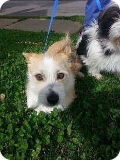 St Louis Mo Cairn Terrier Mix Meet Flower A Dog For Adoption