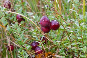 Cranberry Oder Preiselbeere Was Genau Ist Der Unterschied Plantura Winterharte Pflanzen Pflanzen Preiselbeeren