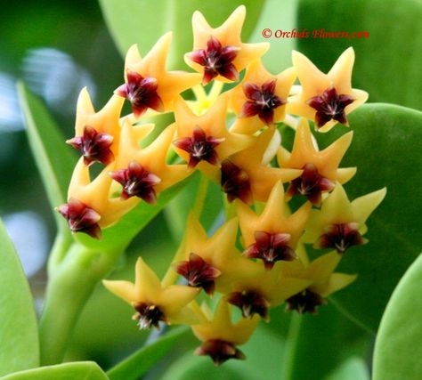100 best vines in the philippines images on pinterest rare flowers 100 best vines in the philippines images on pinterest rare flowers beautiful flowers and gardening mightylinksfo