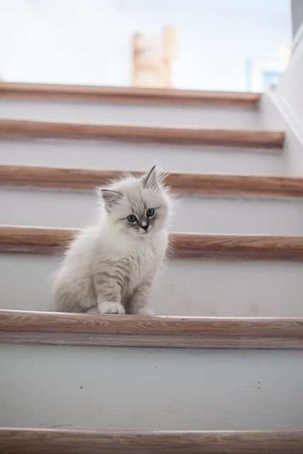 Kolo, kitten neva blue tabby with white