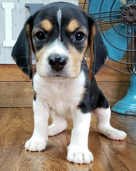 Tinley Beagle Puppy Beagle Puppy Puppy Facts Puppies For Sale