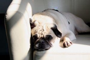 Adopt Brutus On Pug Love Pugs Pug Rescue
