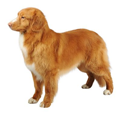 Nova Scotia Duck Tolling Retriever Dog Breed Information Purina