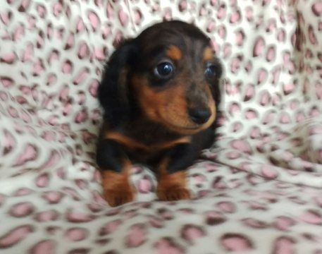 Dachshund Puppy For Sale In Honey Brook Pa Adn 66723 On