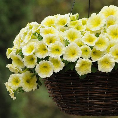 Petunia Easy Wave Yellow F1 Petunia Plant Annual Flowers Easy Waves
