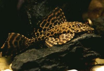 Awesome Freshwater Algae Eaters In Tropical Tank Leopard Pleco Till Recently Referred To As Glyptoperichthys Gibbicep In 2020 Plecostomus Tropical Tanks Fresh Water