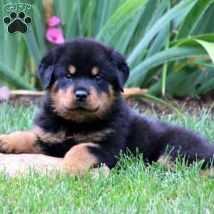 Rottweiler Puppies For Sale Rottweiler Breed Profile